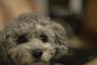 カメラを見て小さな白い犬の写真・画像素材[1184292]