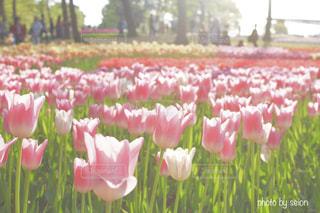 ピンクのチューリップ畑の写真・画像素材[855791]