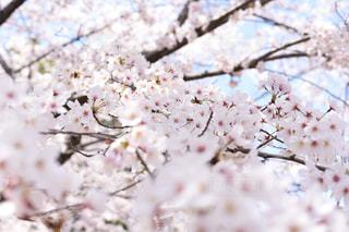 桜の季節の写真・画像素材[1914512]