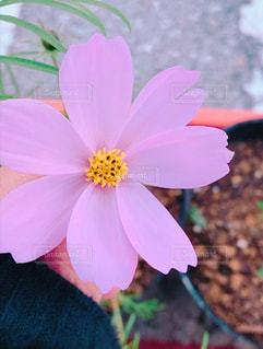 近くの花のアップの写真・画像素材[987163]