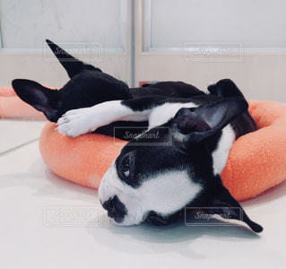 白い面の上に横たわる黒犬の写真・画像素材[998449]