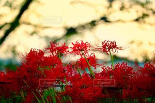 自然,花,秋,赤,夕焼け,鮮やか,彼岸花,秋空,権現堂,フォトジェニック,色・表現,感覚・感情