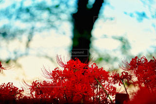 自然,風景,花,秋,赤,夕焼け,鮮やか,彼岸花,秋空,権現堂,色・表現,感覚・感情