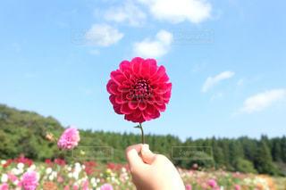 ピンクの花を持っている手の写真・画像素材[1207628]