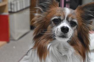 カメラを見て茶色と白犬の写真・画像素材[973931]