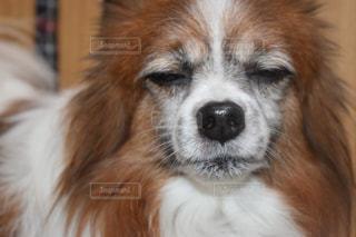 カメラを見て茶色と白犬の写真・画像素材[973937]