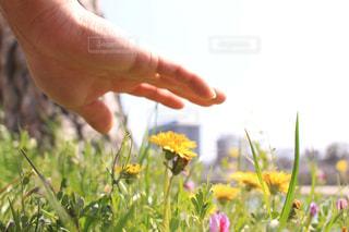 風景,アウトドア,花,春,木,晴れ,青空,黄色,手,お花,たんぽぽ,休日,お出かけ,岡崎公園,2018年3月