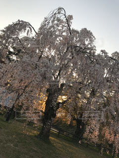 花,桜,夕焼け,枝垂れ桜,桜満開
