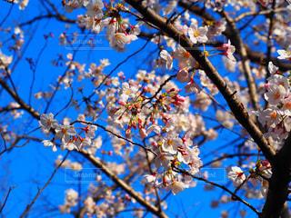 空,花,春,桜,桜の花,さくら