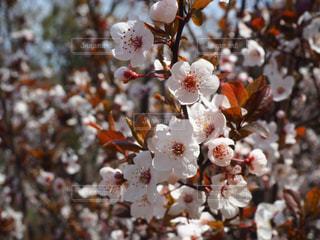 花,春,桜,鮮やか,草木,桜の花,さくら,ブロッサム