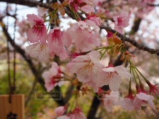 花,桜,屋外,ピンク,鮮やか,樹木,桜の花,さくら