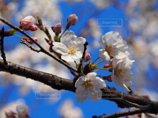 空,花,春,桜,青い空,樹木,蕾,草木,桜の花,さくら