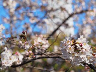 空,花,春,桜,屋外,草木,桜の花,さくら