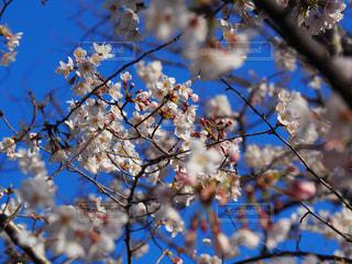 空,花,春,桜,屋外,青,枝,青い空,樹木,草木,桜の花,さくら,ブロッサム