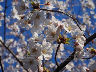空,花,春,桜,晴天,青い空,草木,桜の花,さくら,ブロッサム