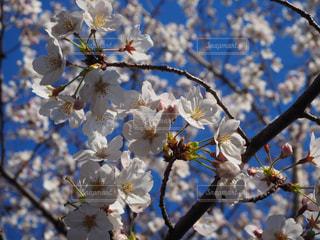 花,春,桜,青い空,樹木,草木,桜の花,さくら,ブルーム,ブロッサム