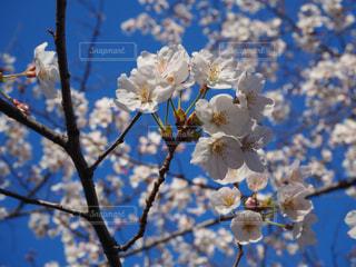 空,花,春,桜,青,青い空,桜の花,さくら,ブルーム,ブロッサム