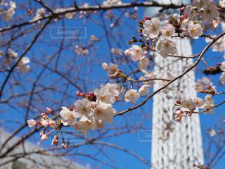 桜の写真・画像素材[3045758]