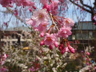 花,春,桜,ピンク,鮮やか,蕾,カラー,桜の花,さくら,ブルーム,ブロッサム