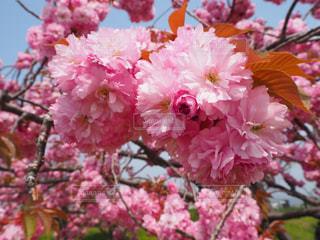 風景,花,春,桜,ピンク,景色,鮮やか,草木,さくら,ブルーム,ブロッサム