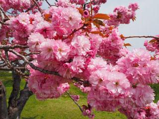 風景,花,春,桜,屋外,ピンク,景色,鮮やか,樹木,草木,桜の花,さくら,ブルーム,ブロッサム