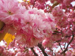 花,桜,ピンク,葉,景色,草木,さくら,ブルーム,ブロッサム