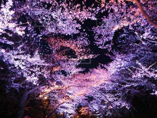 夜桜の写真・画像素材[3045763]