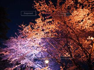 自然,春,桜,夜,ピンク,夜桜,旅行,景観,さくら