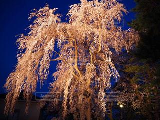自然,空,春,桜,夜,夜桜,景色,ライトアップ,枝垂れ桜,枝垂れ,さくら