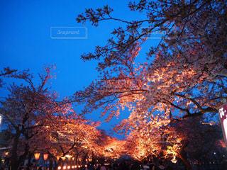 自然,風景,空,春,桜,夜,屋外,夕暮れ,夜桜,祭,さくら