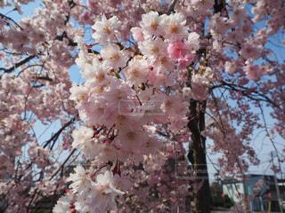 桜の写真・画像素材[3045767]
