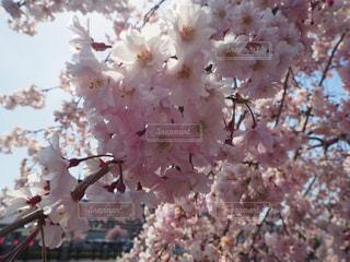 自然,花,春,ピンク,鮮やか,光,旅行,桜の花,さくら,ブロッサム