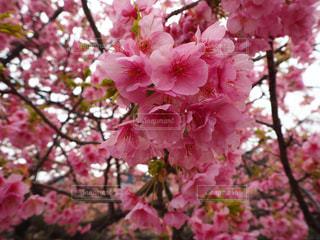風景,花,春,桜,屋外,ピンク,葉,景色,樹木,桜の花,さくら,ブルーム,ブロッサム