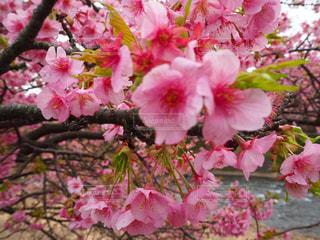 花,桜,屋外,ピンク,葉,景色,草木,さくら,ブルーム,ブロッサム,フローラ
