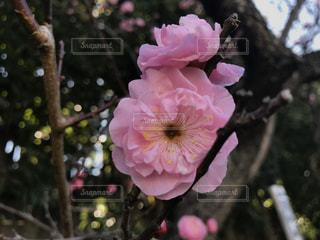 梅の写真・画像素材[3046570]