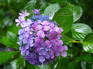 紫陽花の写真・画像素材[3386533]