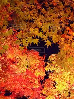 色づき始める紅葉の写真・画像素材[886473]