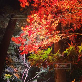 ピンクの花の木の写真・画像素材[872275]