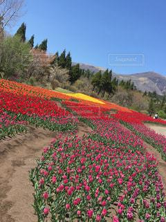 花畑の写真・画像素材[1127930]