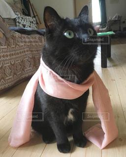 猫,マフラー,ねこ,cat,黒猫,black,ネコ,black cat