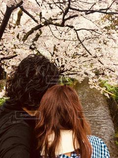 京都の桜の写真・画像素材[862673]