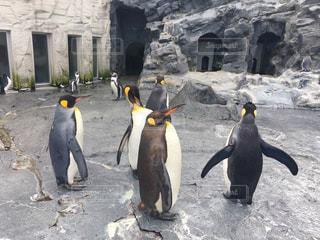 ペンギンいっぱいの写真・画像素材[882939]