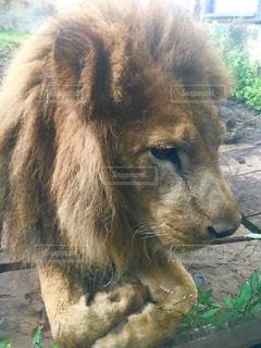 ライオンさんが近い!の写真・画像素材[883060]