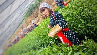 女性,屋外,緑,葉,人物,人,衣装,コスプレ,休日,デート,茶摘み,静岡,茶畑,緑茶,バスツアー,煎茶,茶摘み体験