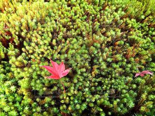 秋,紅葉,京都,観光,苔,順正