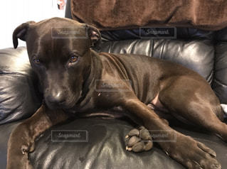 ベッドの上で横になっている茶色と黒犬の写真・画像素材[995575]