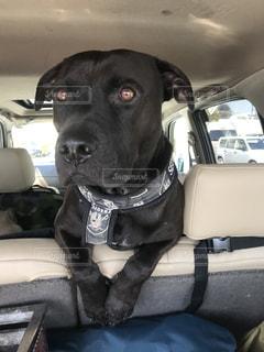 車の座席に座っている犬の写真・画像素材[1208194]