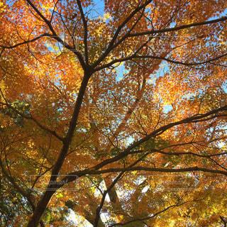 大きな木の写真・画像素材[871400]