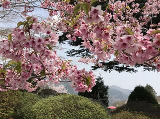 自然,花,桜,ピンク,緑,鮮やか,お花見,箱根,休日,草木,神奈川県,お出掛け,強羅公園,箱根町,花絶景