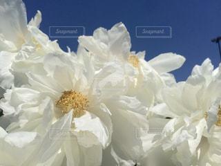 牡丹の写真・画像素材[916592]